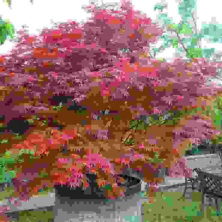 Kırmızı Yapraklı Japon Akçaağacı Klasik Bahçe CanlıBahçe Fidancılık Klasik