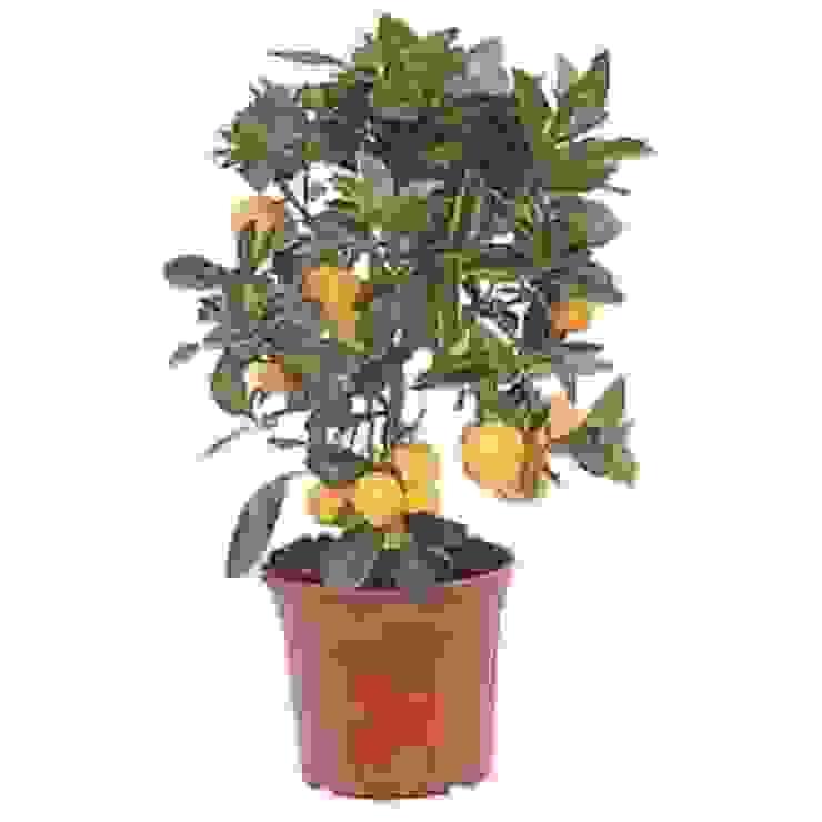 Minyatür Limon Klasik Bahçe CanlıBahçe Fidancılık Klasik