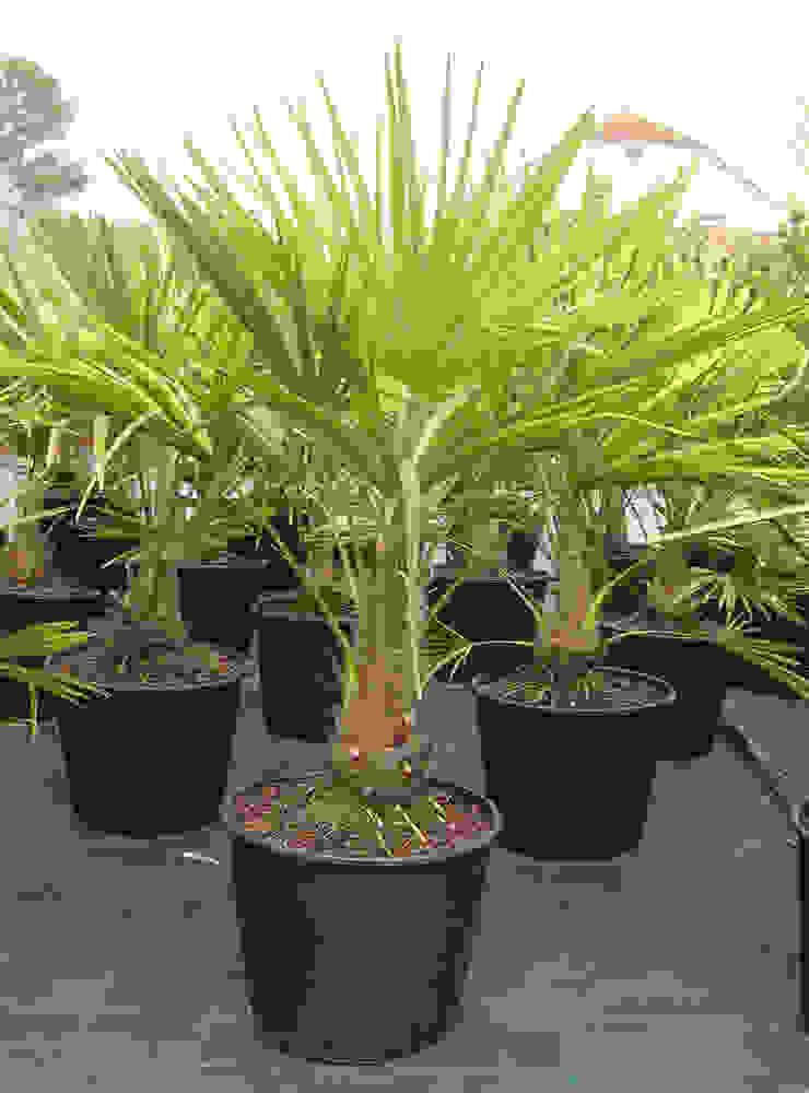 Palmiye Klasik Bahçe CanlıBahçe Fidancılık Klasik