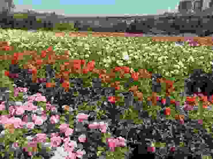 gül çeşitleri Klasik Bahçe CanlıBahçe Fidancılık Klasik