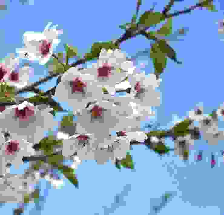 Prunus yedoensis Vườn phong cách đồng quê bởi Barcham Trees Plc Đồng quê