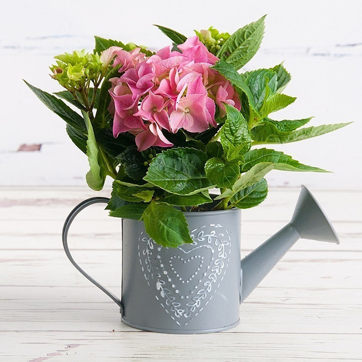 Petite Hydrangea Plant: modern  by Appleyard London, Modern
