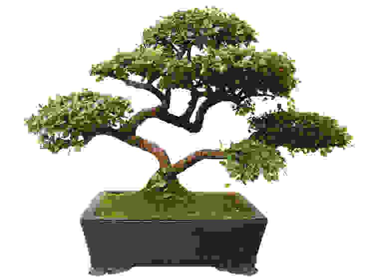 Bonsai Moderner Garten von Genki-Bonsai Modern
