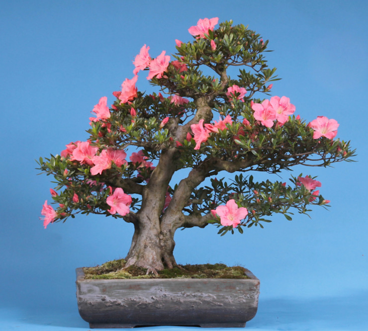 Bonsai-Shopping Asyatik