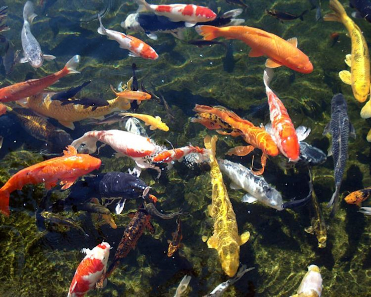 Koi Happily Swimming by Cape Town Landscaping