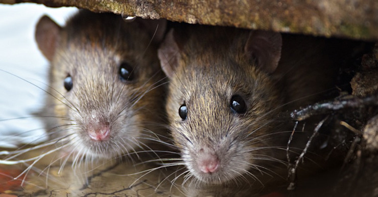 Rodent control by Cape Town Pest Control