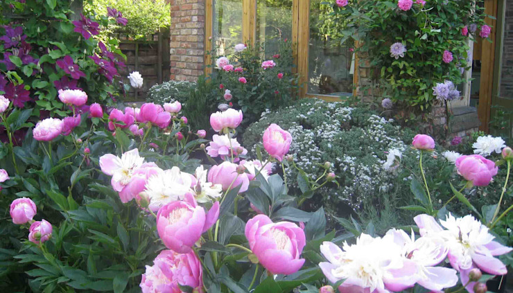 My Cheshire Garden - Peonies, Bowl of Beauty - Caroline Benedict Smith Garden Design Cheshire Jardines de estilo clásico de Caroline Benedict Smith Garden Design Cheshire Clásico