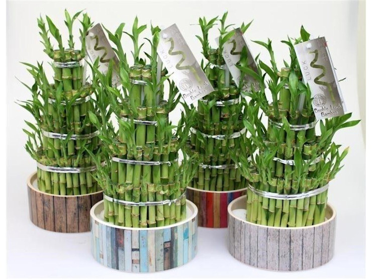 Lucky Bamboo just needs water in which to grow. The stems are arranged in various shapes and forms, making an architectural delight! Oleh Perfect Plants Ltd Asia Serat Alami Beige