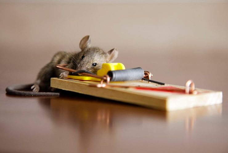 Getting rid of Rodents by Pest Control Durban