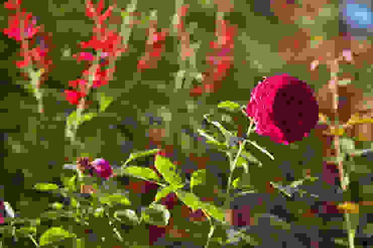 Rosa David Austin, Munstead Wood tem Salvia elegans como cenário Jardins campestres por Maria Mayer | Interior & Landscape Design Campestre