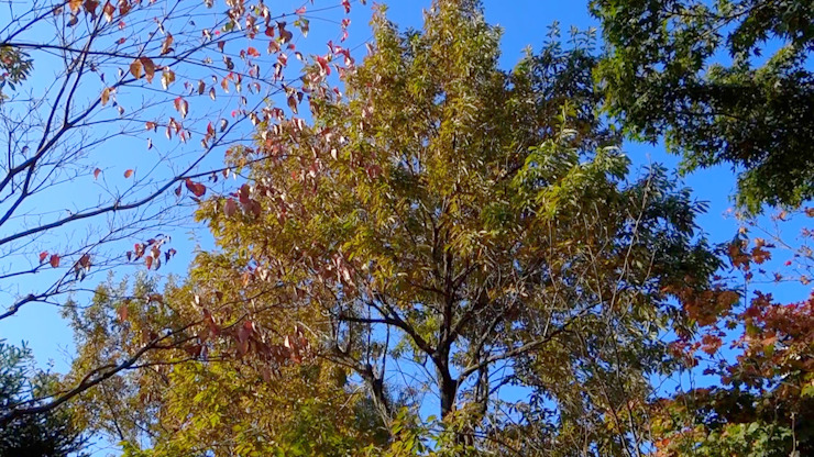 コナラ 剪定前 の 庭や煌久