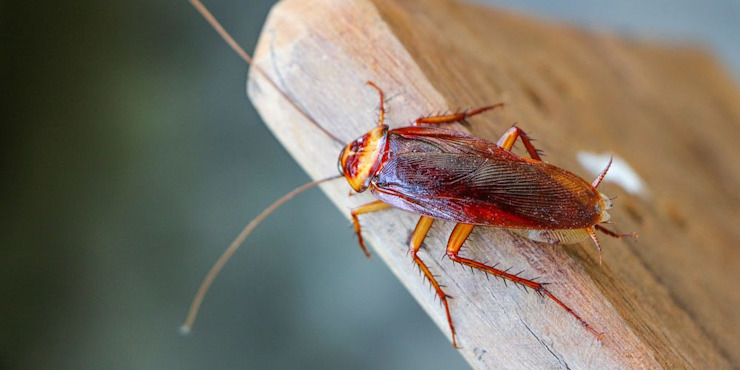 Cockroach Removal Services Pest Managers Cape Town