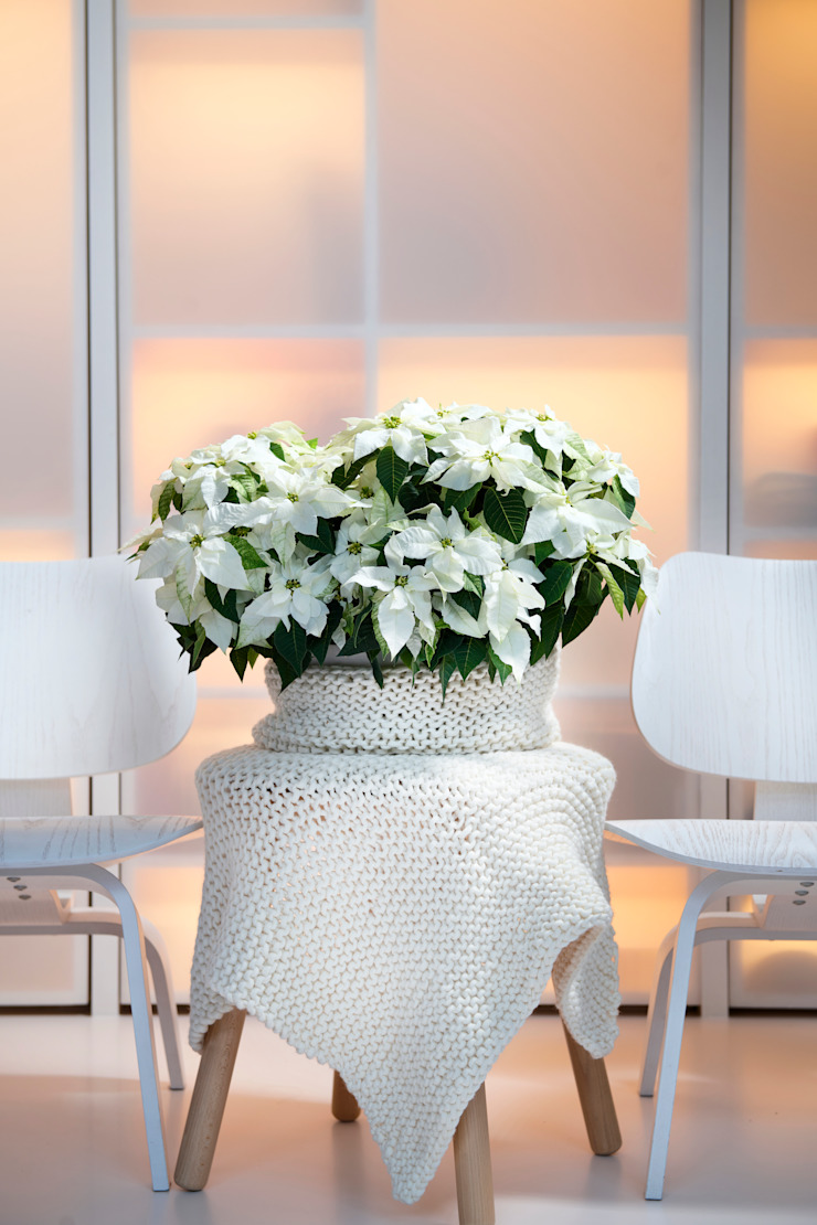 Pflanzenfreude.de 室內景觀 棉 White