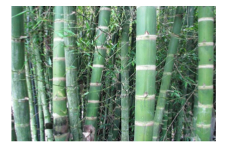 Plantación bambú GRENBO Balcones y terrazasAccesorios y decoración Bambú Acabado en madera