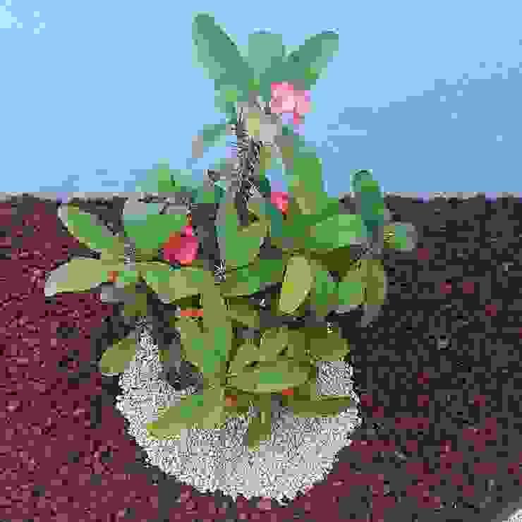 Euphorbia milii EcoEntorno Paisajismo Urbano Jardines japoneses