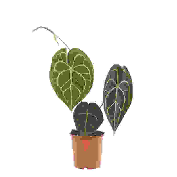 Anthurium Clarinervium (Aderplant) – P 12 cm: modern  door Plantje.nl, Modern
