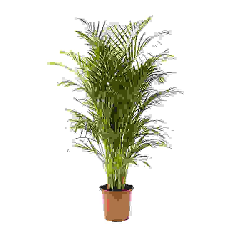 Areca Chrysalidocarpus Dypsis Lutescens (Goudpalm) P 24 cm: modern  door Plantje.nl, Modern