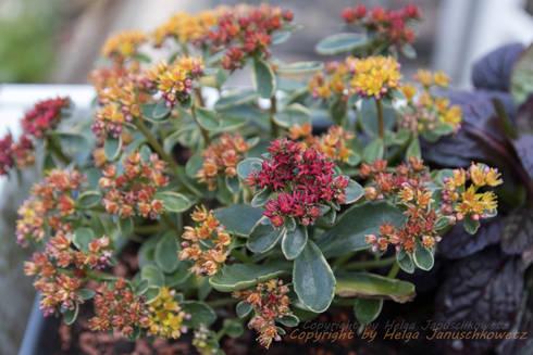 Sedum als Balkonpflanze: mediterraner Balkon, Veranda & Terrasse von Andreae Kakteenkulturen