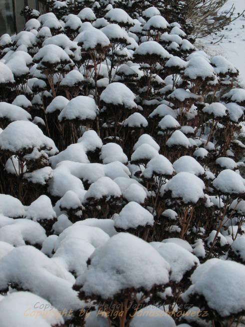 Sedum spectabile im Winter: mediterraner Garten von Andreae Kakteenkulturen