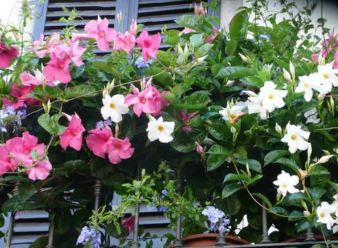 Dipladenia en pots pour balcon et terrasse jardin de style de style classique par my