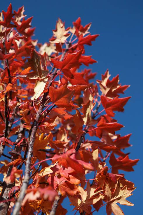 Malus Trilobata:  Garden by Barcham Trees Plc