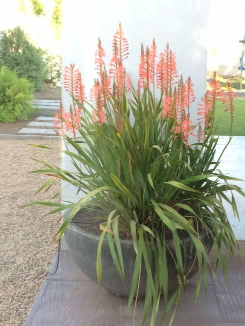 Bella watsonia en maceta. : Jardines de estilo moderno por Aliwen Paisajismo