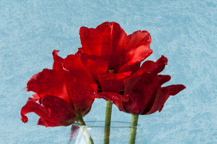 Red Tulips:  Household by Steve Purnell