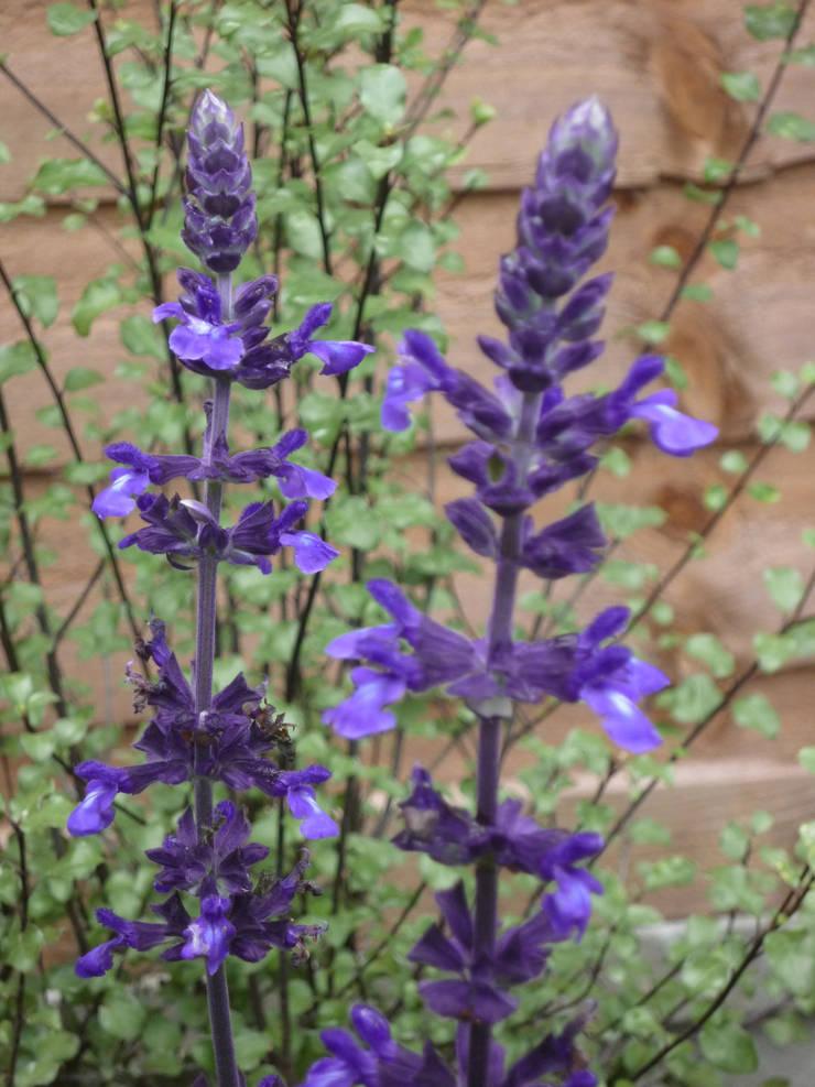 Salvia and Pittosporum:  Garden by Fenton Roberts Garden Design