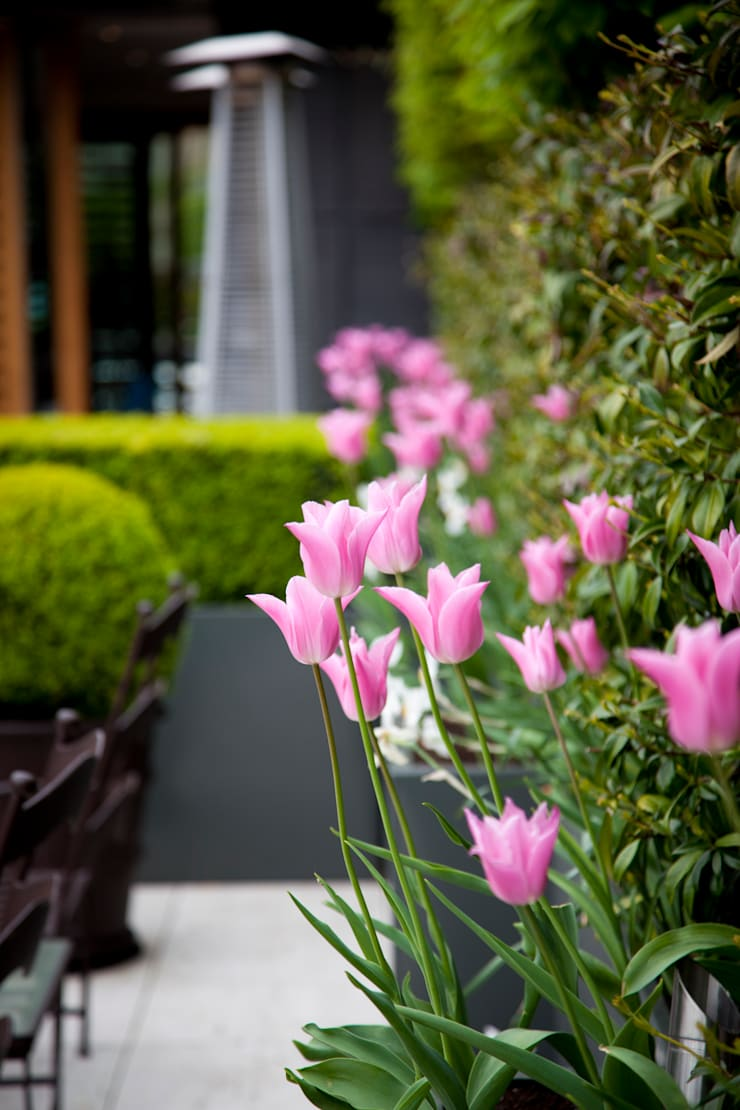 Pink tulips:  Garden by Cameron Landscapes and Gardens