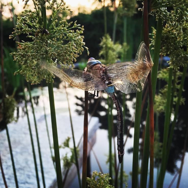 La muta della libellula: Giardino in stile  di suingiardino