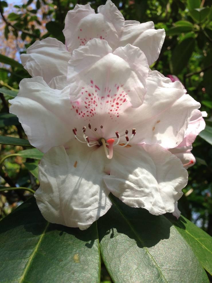 Rhododendron:  Garden by Anne Macfie Garden Design
