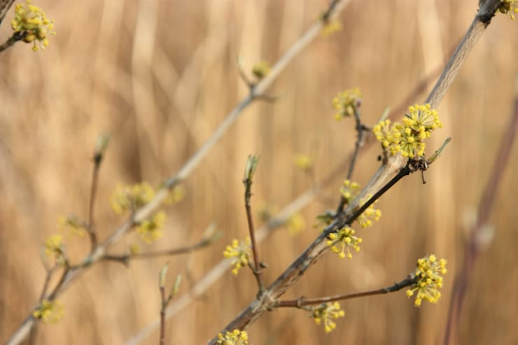 Wczesną wiosną w ogrodzie kwitnie dereń jadalny. : styl , w kategorii  zaprojektowany przez Miejskie Ziele