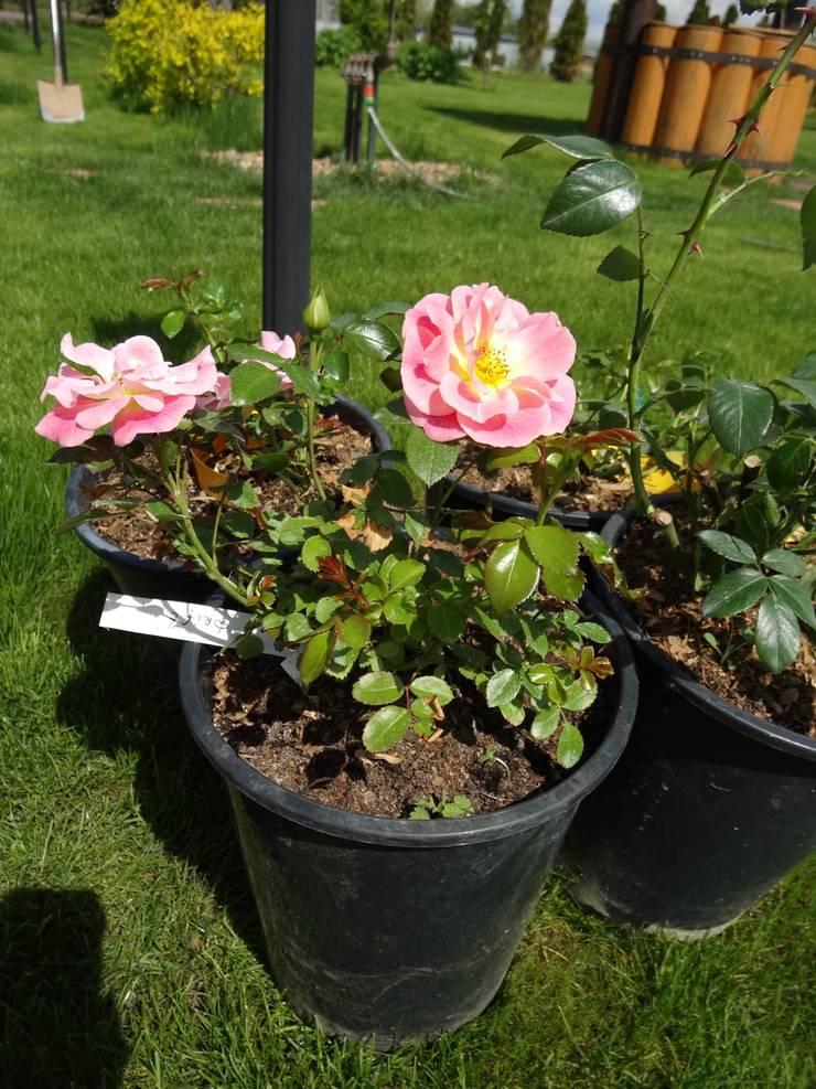 Розы для розария:  в . Автор – ЛАНДАРХ