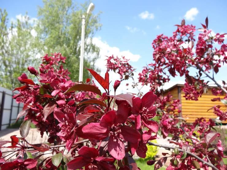 Яблоня цветет:  в . Автор – ЛАНДАРХ