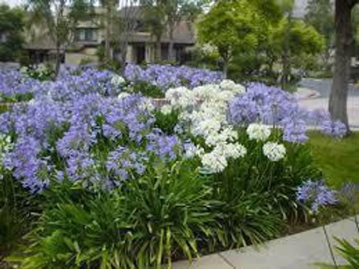 CanlıBahçe Fidancılık – Şefkat Çiçeği-Afrika Zambağı-Agapantus:  tarz Bahçe