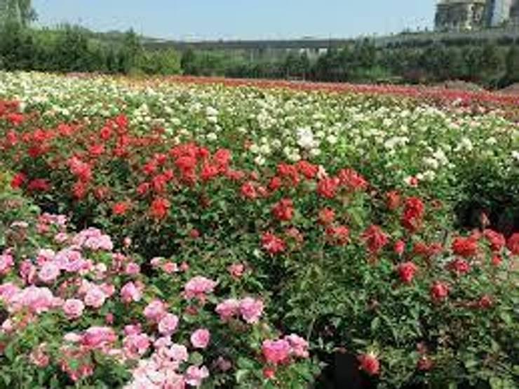 CanlıBahçe Fidancılık – gül çeşitleri: klasik tarz tarz Bahçe