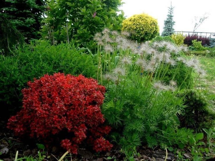 Berberys 'Bagatelle' i sasanka: styl , w kategorii  zaprojektowany przez Garden Ekspert Studio Architektury Krajobrazu