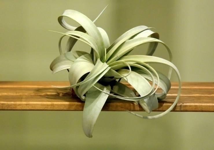 bitki dekor – airplant:  tarz Bahçe