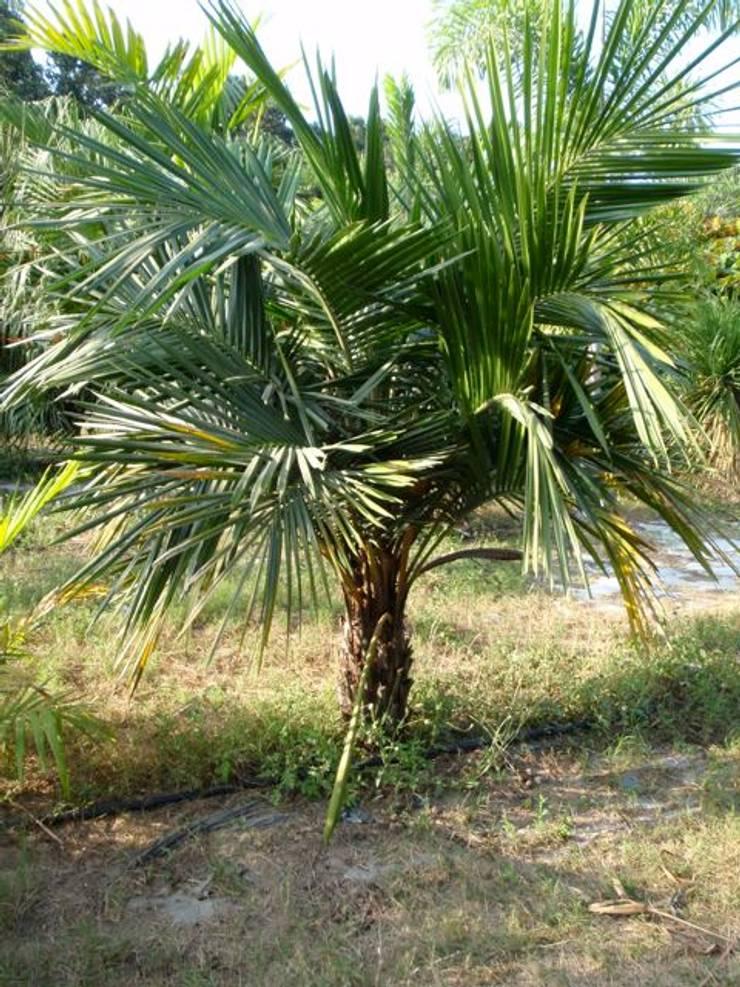 Árboles: Yates y jets de estilo  por Tropical America landscaping