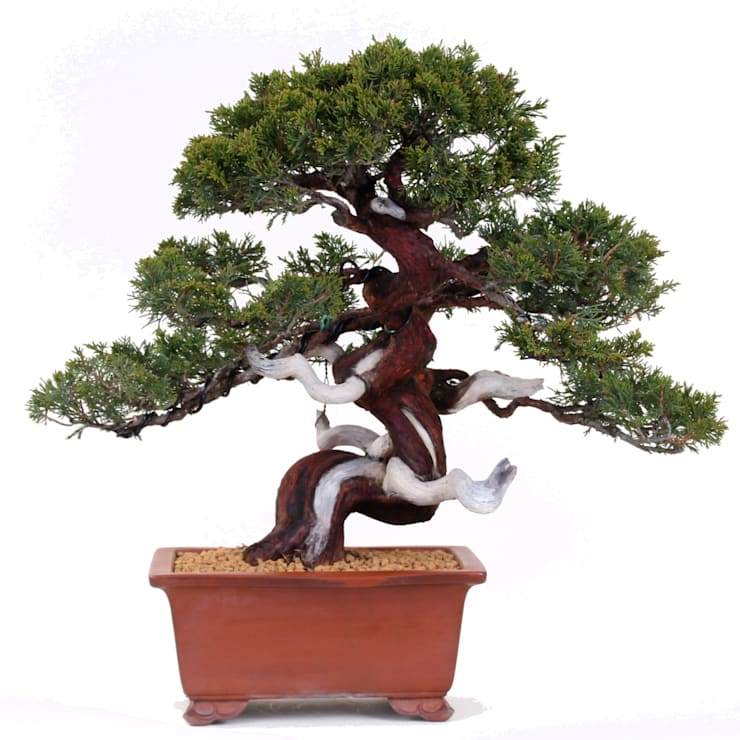 Excellent How To Grow And Care For A Bonsai Tree Wiring Cloud Nuvitbieswglorg