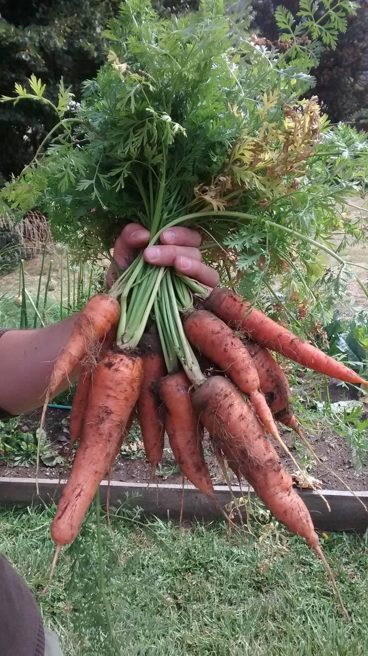 cosecha de zanahorias en huerta orgánica: Jardines de estilo  por Pell Paisajismo