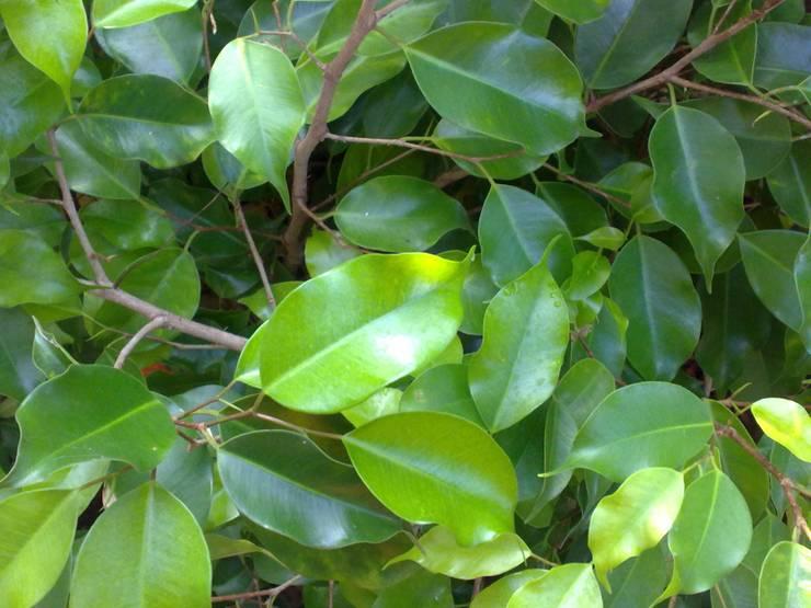 Ficus Benjamin Tutto Cio Da Sapere Su Cura E Coltivazione