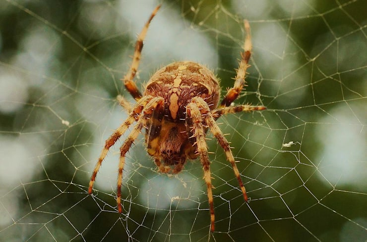 Spider Control Solutions:   by Pest Managers Cape Town