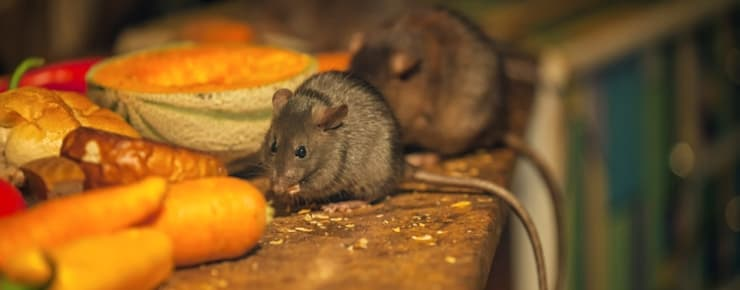 Rodent Elimination:   by Pest Managers Cape Town