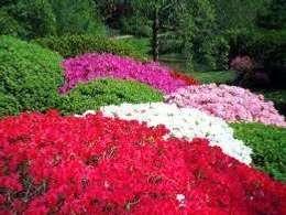 CanlıBahçe Fidancılık – açelya: klasik tarz tarz Bahçe
