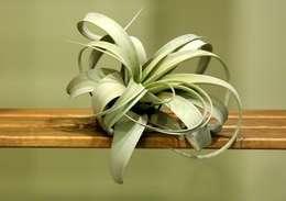 bitki dekor – airplant: tropikal tarz tarz Bahçe