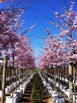 Jardin de style de stile Rural par Barcham Trees Plc