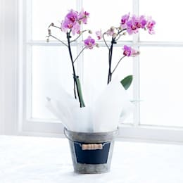 Pink Double Orchid Plant:  Garden  by Appleyard London