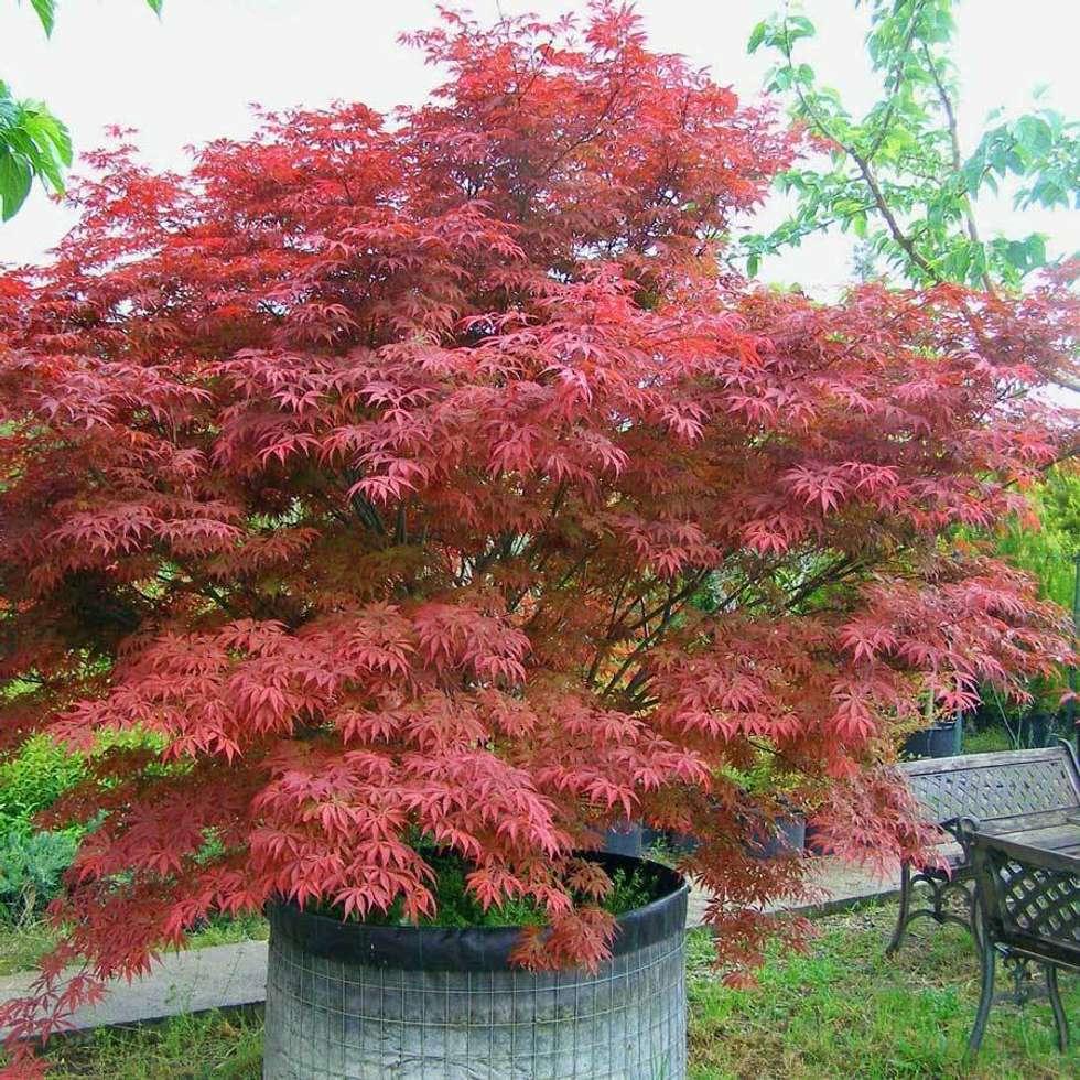CanlıBahçe Fidancılık – Kırmızı Yapraklı Japon Akçaağacı: klasik tarz tarz Bahçe
