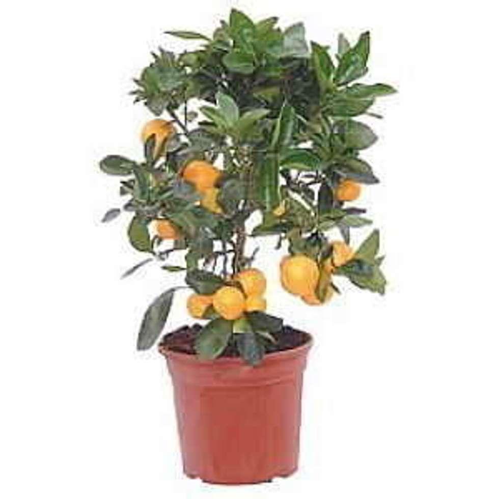 CanlıBahçe Fidancılık – Minyatür Limon: klasik tarz tarz Bahçe